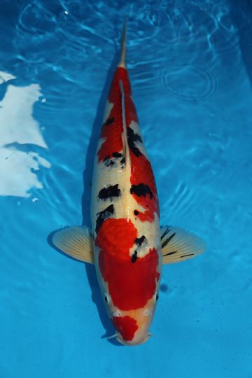 "Sanke-Koi For Sale 23"" 0022"